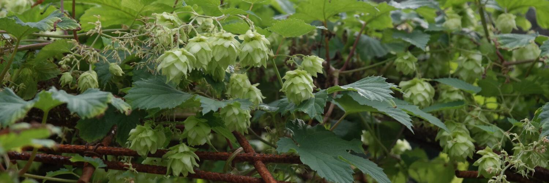 Tradition trifft auf Innovation: Aus Gemüse Bier brauen